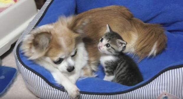 Котёнок и чихуахуа обожают друг друга