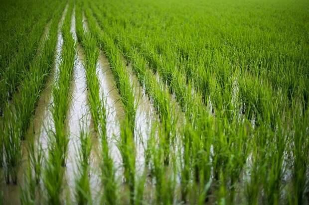 На Кубани начался сев риса