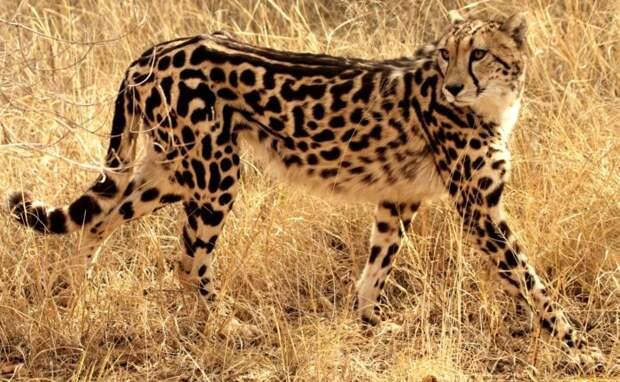 Описание гепарда