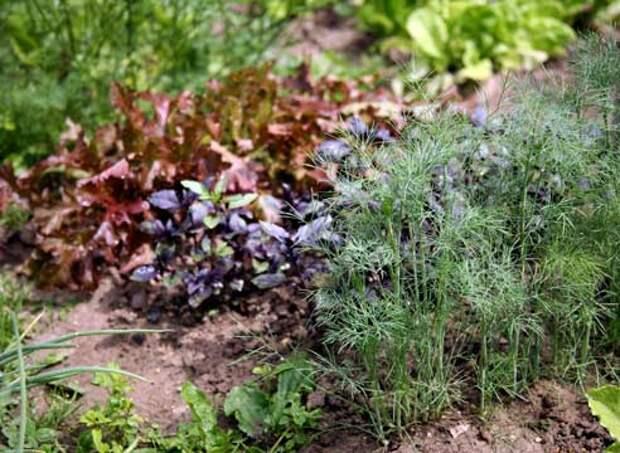 Многолетние травянистые растения : Растение травы пряные в асс. Р14 - Интернет-магазин Home Garden