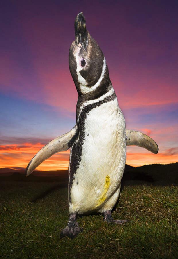 Королевские пингвины на Фолклендских островах а императорские в Арктике.