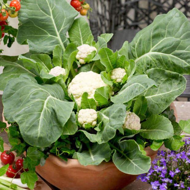 Главное предоставить цветной капусте правильные условия роста. /Фото: suttons.s3.amazonaws.com