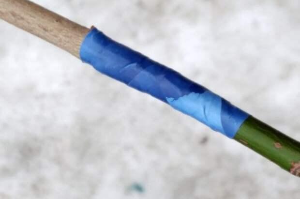 5. Прививка зафиксирована обвязочной лентой.