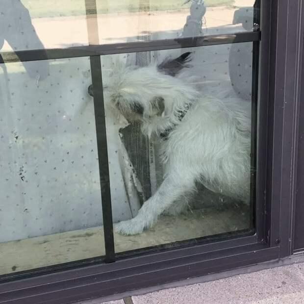 собака рвет шторы