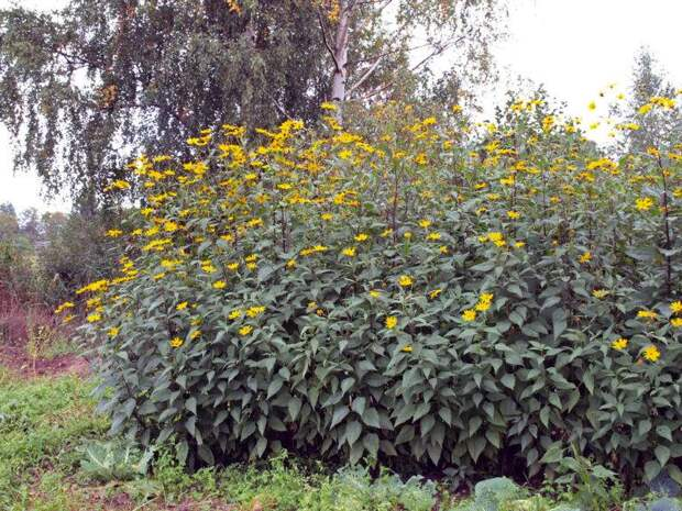 Топинамбур — лучший подножный корм для армии и населения