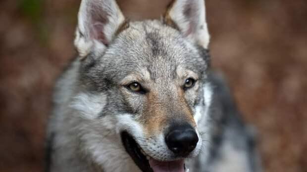 Учёные показали, что волки понимают причинно-следственную связь лучше собак. волк, животные, исследование