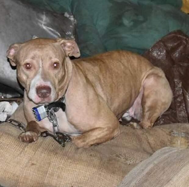 Привязав свою собаку к старой мебели, хозяин бросил ее в доме
