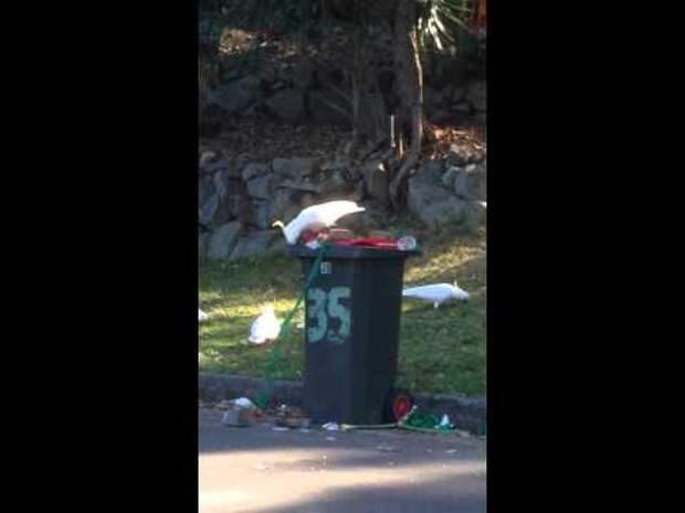 Ученые выяснили, что какаду могут учить сородичей открывать мусорные баки для поиска пищи