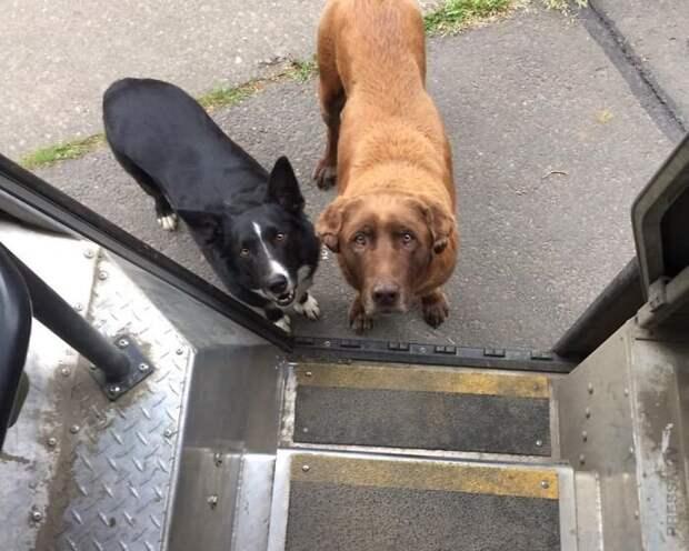 Водитель службы доставки и собаки на его маршруте