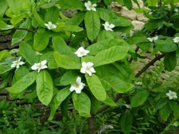 Цветение мушмулы в открытом грунте