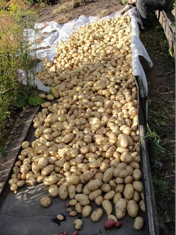 Собранную картошку выкладывают в тенечке на просушку. Фото с сайта a.d-cd.net