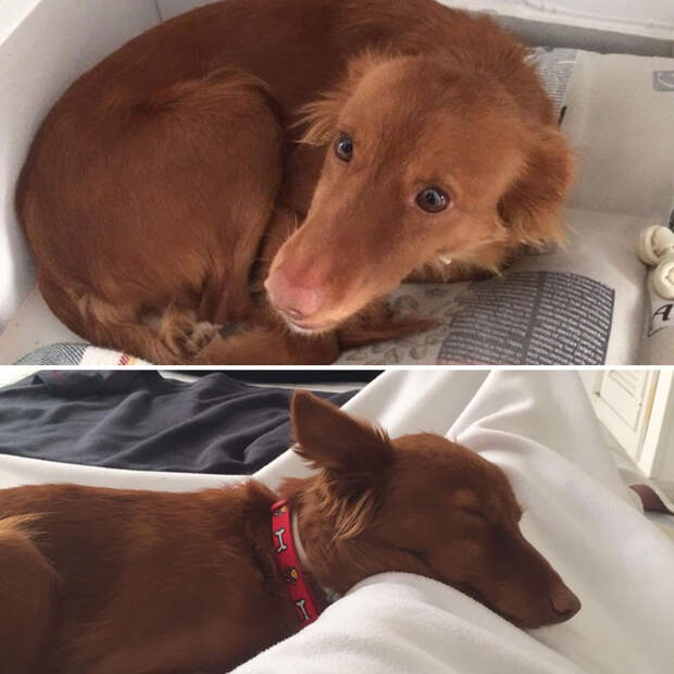 27 фото собак ″До″ и ″После″ того, как их забрали из приюта