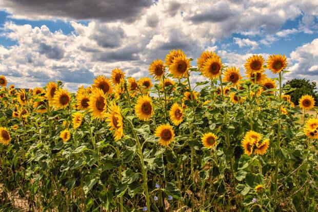 sunflowers by haen son ⭐⭐⭕⭐⭐ on 500px.com