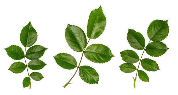 У большинства канадок семь листочков, так как у них среди родителей есть роза морщинистая