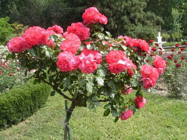 Романтическая роза Rosarium Uetersen