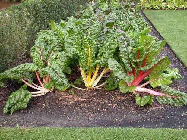 Полезный и красивый овощ мангольд на ваших грядках