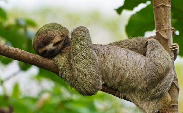 Как ленивцы выживают в дикой природе, почему хищники их до сих пор не истребили?