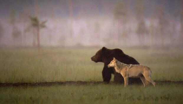 Финский фотограф запечатлел необычную дружбу между волчицей и медведем