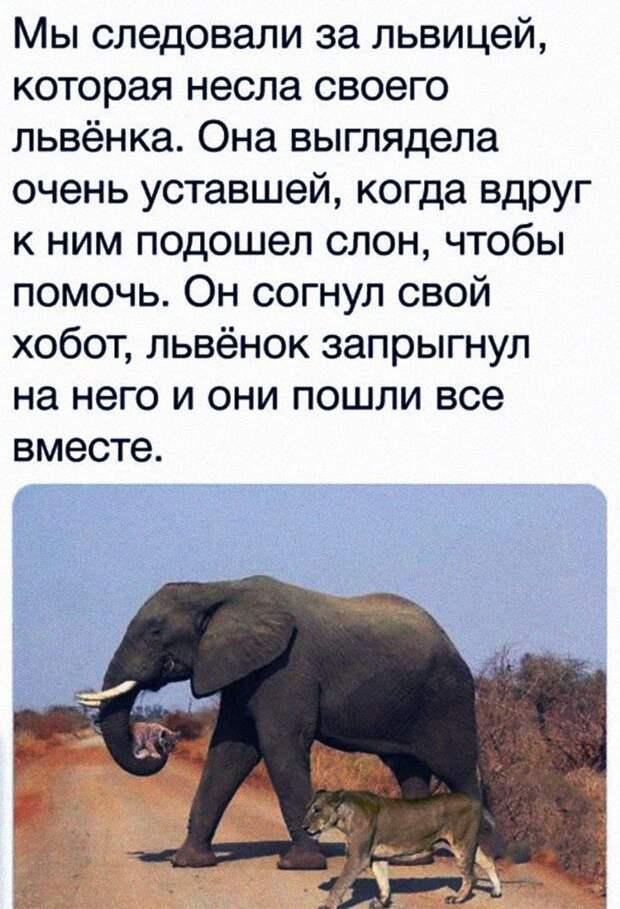 слон несет львенка к воде