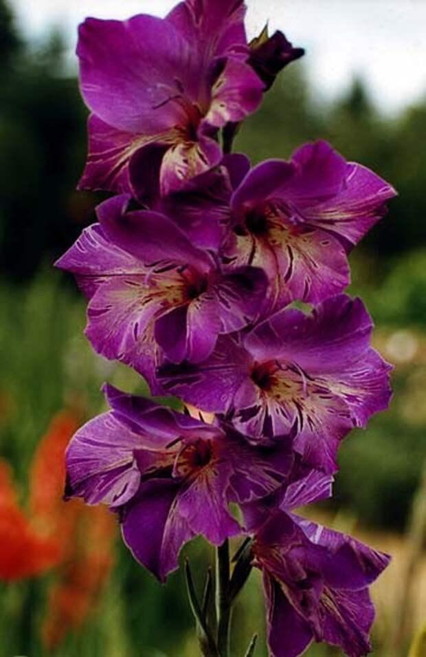 Гладиолус - цветок гладиаторов