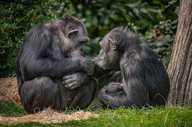 В РАН высказались за скрещивание человека с обезьяной