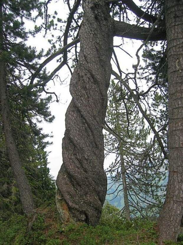 Также было отмечено, что спираль может сделать дерево более прочным и лучше выдерживать нагрузки, вызванные ветром, особенно если направление спирали периодически меняется на противоположное