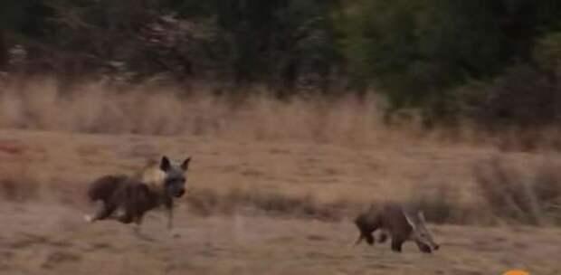 Стремительный бросок гиены в попытке добыть трубкозуба попал на видео (3 фото + 1 видео)
