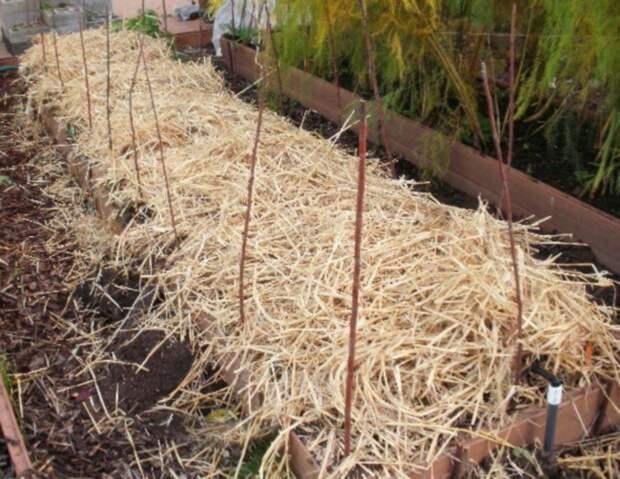 Как подготовить клубнику к зиме Агропромышленный вестник