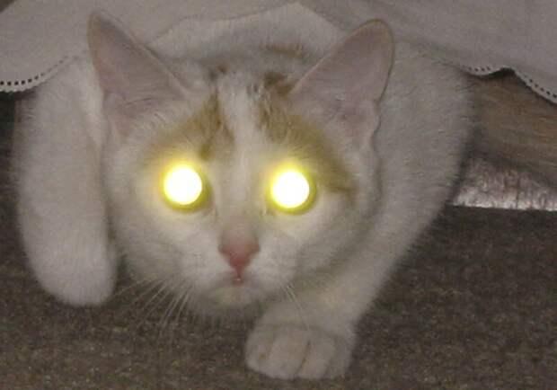 Мистический огонь, или Почему у кошек светятся глаза? животное, зеркало, кошка, отражение, почемучка, свет, свечение, тапетум