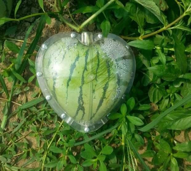 Чудеса садоводничества: арбуз в виде сердца