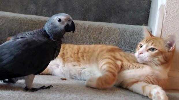 Попугай решил стать котом