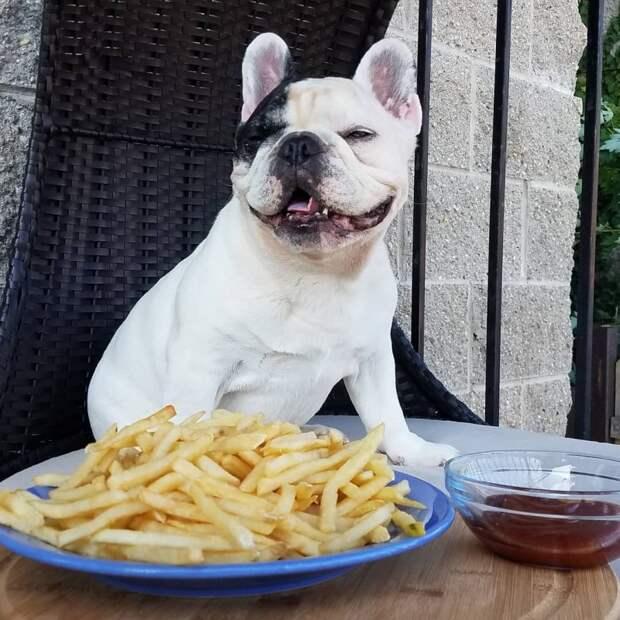 Французский бульдог Мэнни помогает бездомным животным и больным детям instagram, бульдог, мэнни, собака, французский бульдог