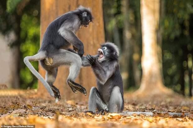 Шаолиньские обезьяны: приматы дерутся в стиле кунг-фу