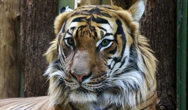 ВоВладивостоке вчесть тигра устроят собачьи бега ивыступят стендап-комики