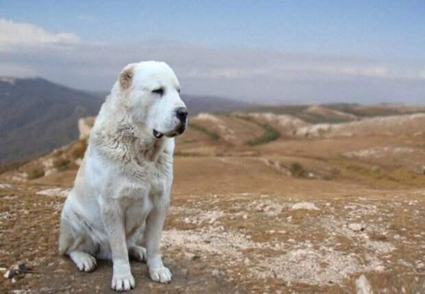 ВПодмосковье алабай откусил женщине руку. Почему эти собаки нападают налюдей?
