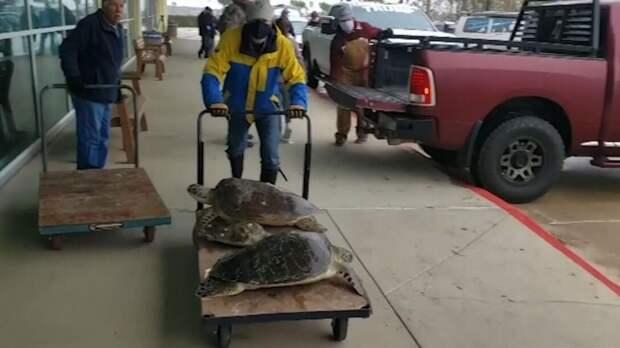 Техас, Черепахи, Волонтеры, Непогода, Морозы
