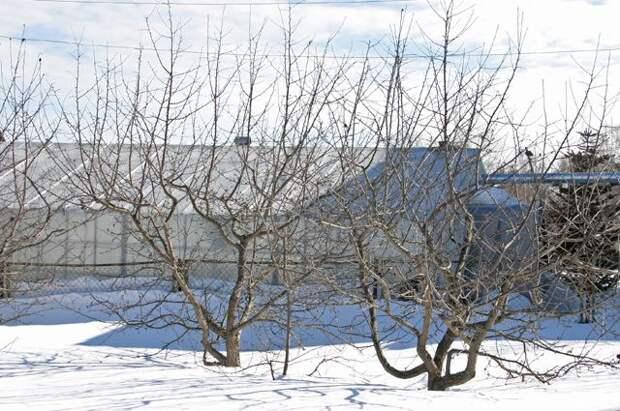 Поврежденные солнцем. Как защитить деревья от ожогов зимой