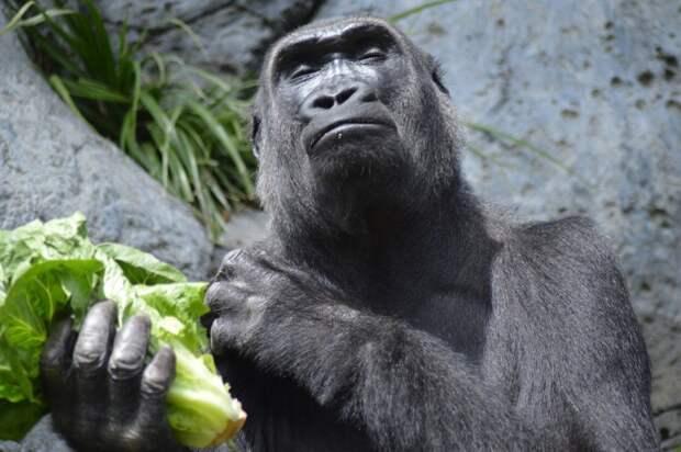 Горилла напала на женщину в зоопарке Мадрида
