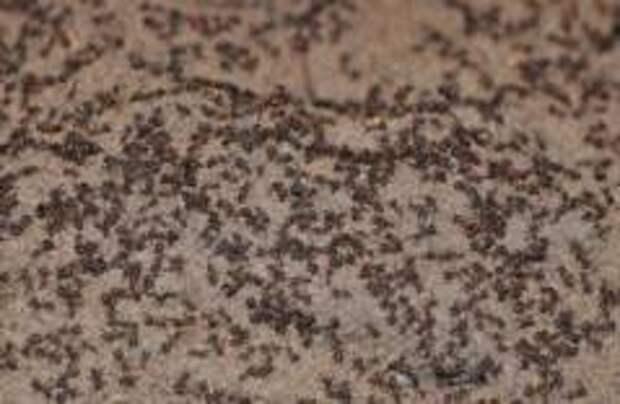 В польском бункере нашли муравьев-каннибалов
