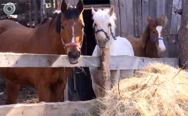 Приют для брошенных лошадей на грани выживания в Новосибирске