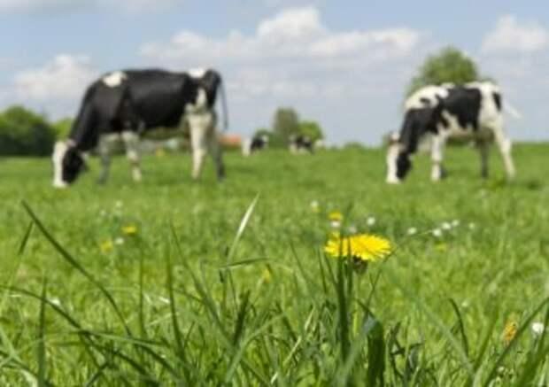 Скотокрады украли коров, продали их и проиграли деньги