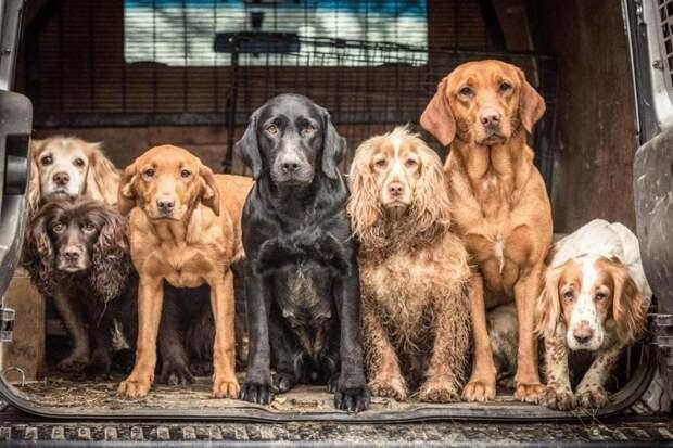 Победитель в категории «Собаки на работе» великобритания, животные, интересное, конкурс, собака, собаки