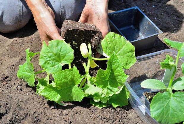 Получить достойный урожай огурцов можно только на грамотно подготовленной грядке