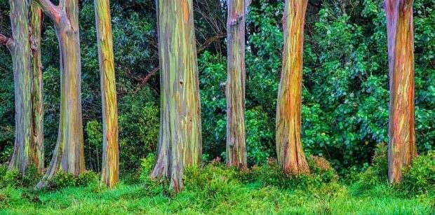 Лес радужных эвкалиптов