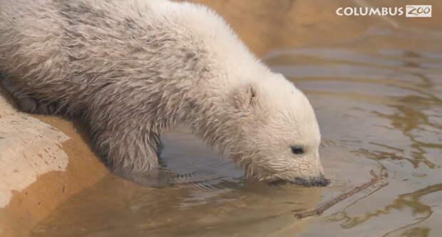 Видео: Как белая медведица учит своего медвежонка плавать