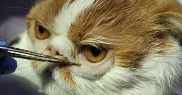 Дистихиаз у животных: что делать с вросшими ресницами у котов и собак?