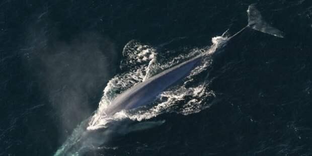 Синий кит может проглотить человека