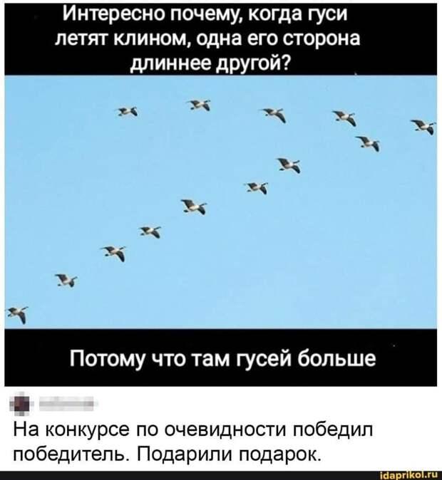 Возможно, это изображение (текст «интересно почему, когда гуси летят клином, одна его сторона длиннее другой? потому что там гусей больше Ha конкурсе по очевидности победил победитель. подарили подарок. idaprikol.ru»)
