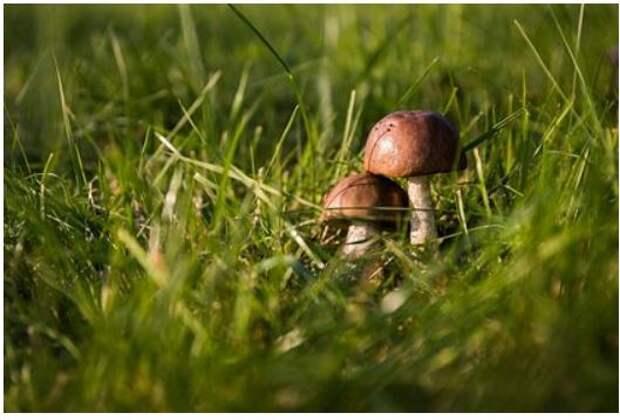 Раскрыта опасность съедобных грибов