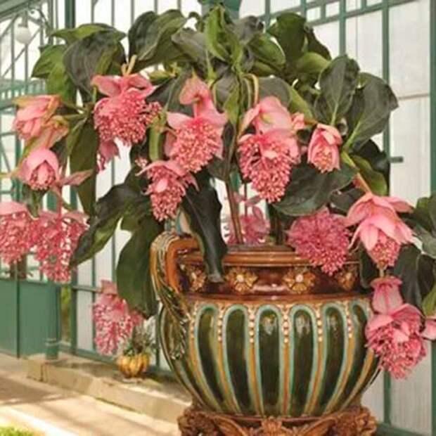 Комнатное растение Мединилла (Medinilla)